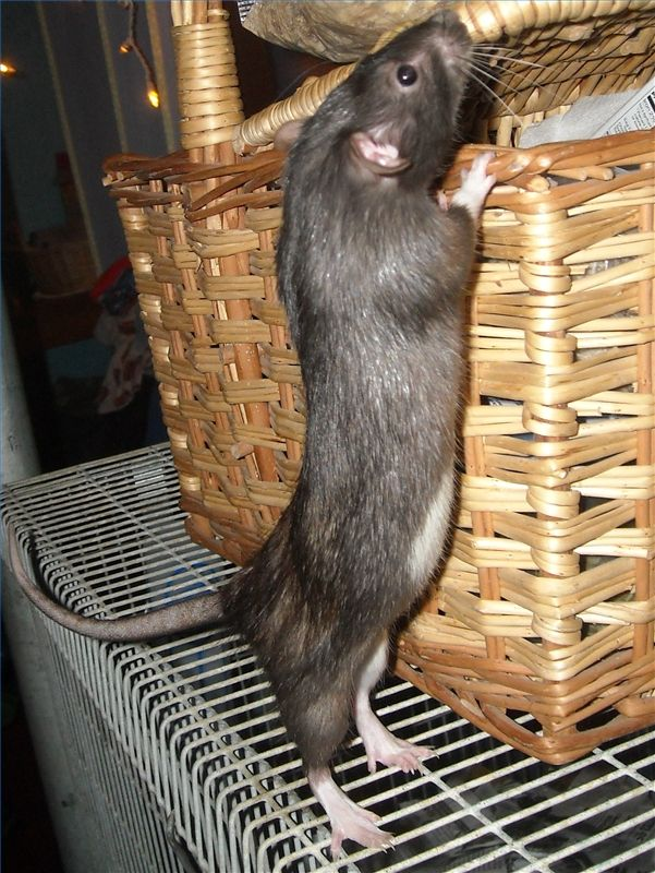 Natural Ways to Get Rid of Rats - peppermint & citronella oils! Put at point of entry - they hate the smell
