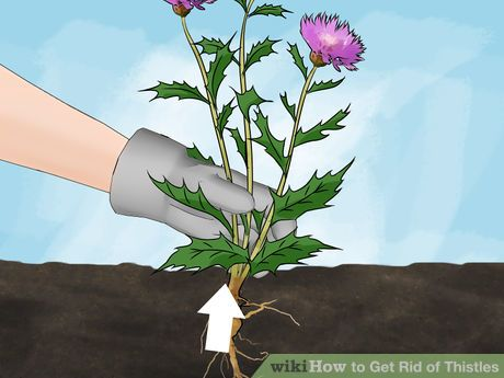 How to get rid of Thistle weeds