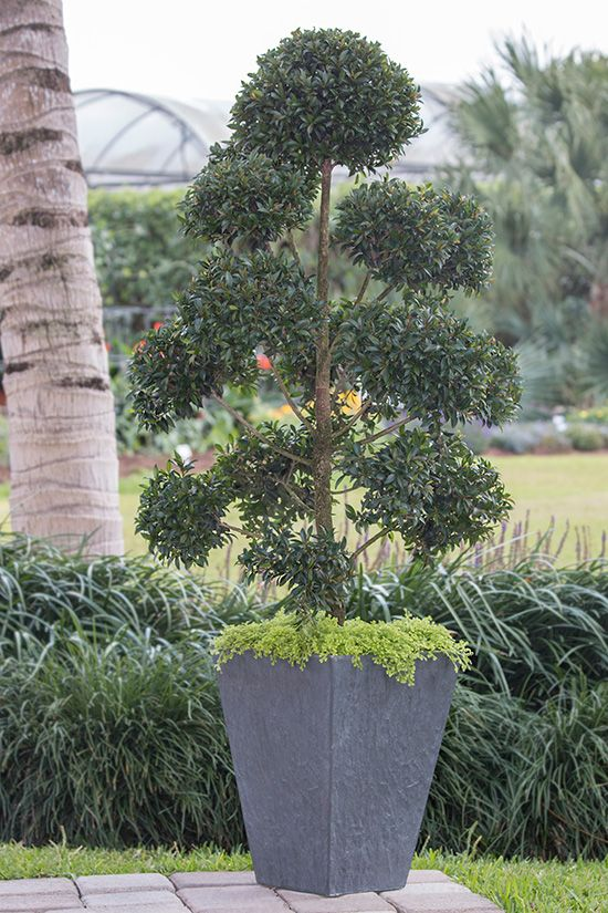 Cool Container Gardens from the Costa Farms Team: Eugenia topiary with golden moss. It grows in or outdoors! | From @costafarms