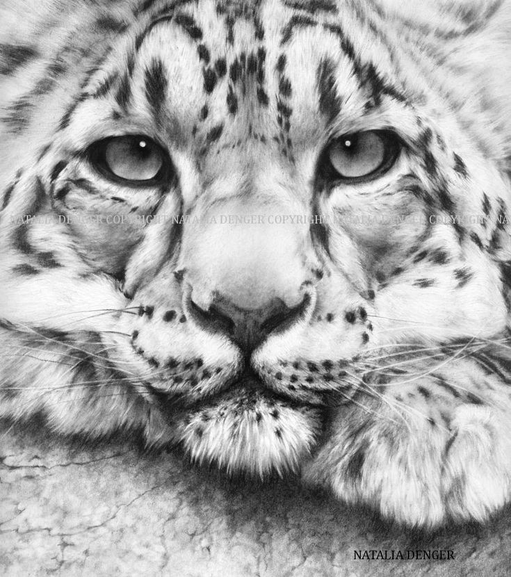 Leopard Paper PRINT 11x14 Snow Leopard Charcoal by NataliaDENGER
