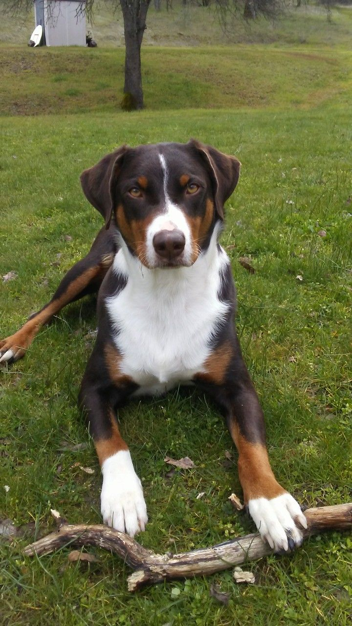 Pin By Kathy Bogue On Appenzeller Sennenhunde Our Beautiful Halla Dog Breeds Entlebucher Mountain Dog Appenzeller Dog