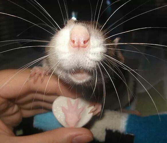 Rattie pawprint