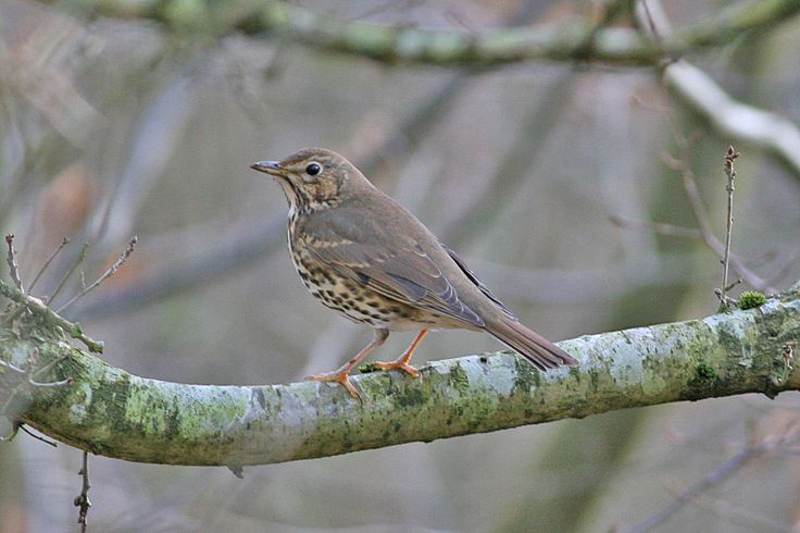 Listen to Song Thrush on british-birdsongs.uk, which is a comprehensive collection of English bird songs and bird calls.