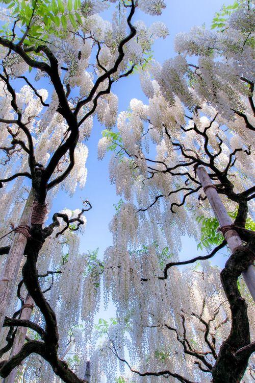 banshy:  White Wisteria, Japan   Jormungand