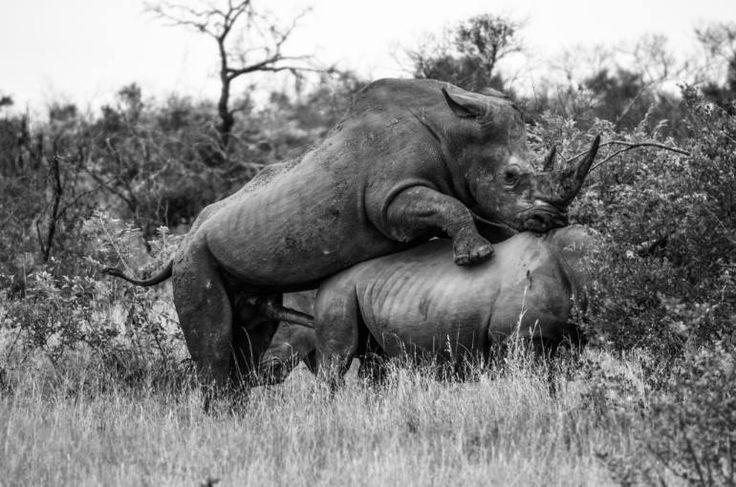 "Saatchi Art Artist David Rabie; Photography, ""Saving the Rhino - Limited Edition 1 of 12"" #art"