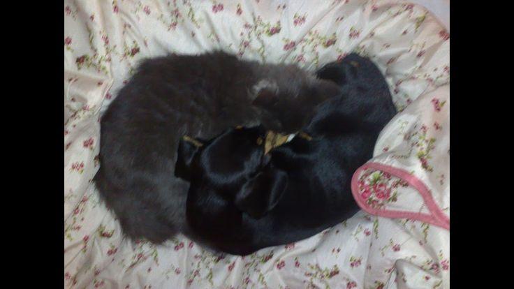 Кошка с собакой