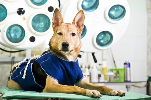 esterilizacion mascota 2