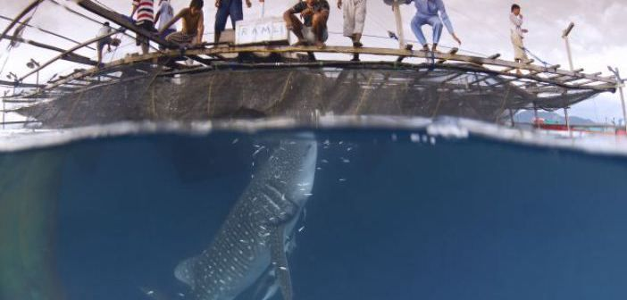 Cendrawasih Bay : The Place Whale Sharks Visit Every Day