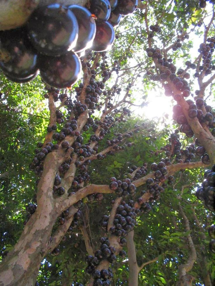 Jabuticaba – The Tree that Fruits on its Trunk ~ Kuriositas