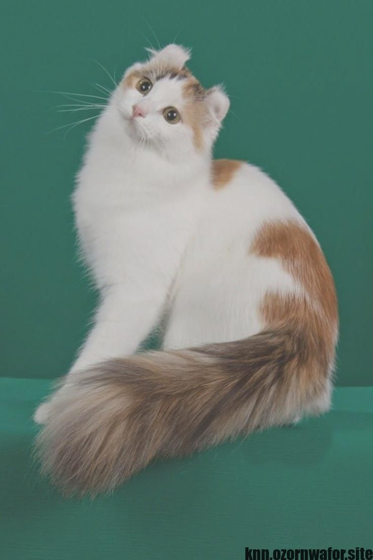 Most Recent Free Of Charge Smallest Cat Breeds Popular Cute Cats And Dogs American Curl Cat Breeds