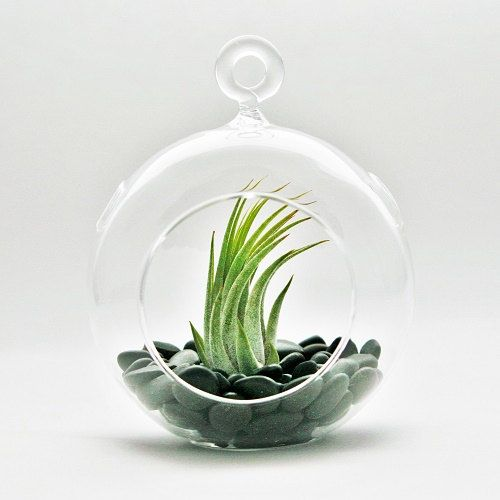 Hanging Air Plant Terrarium - Flat Bottom Glass Terrarium With Black Stones - Fast FREE Shipping - 30 Day Guarantee - Air Plants for Sale