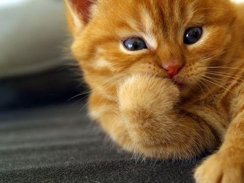 PreciousOrange Cat, Funny Cat, Funny Kittens, Pets, Cute Cat, Hamsters, Gingers Cat, Kitty, Animal