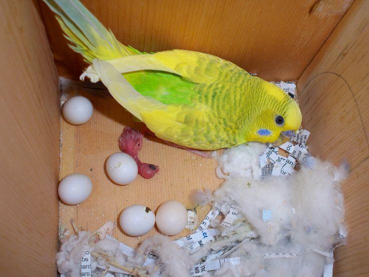 Baby Parakeet