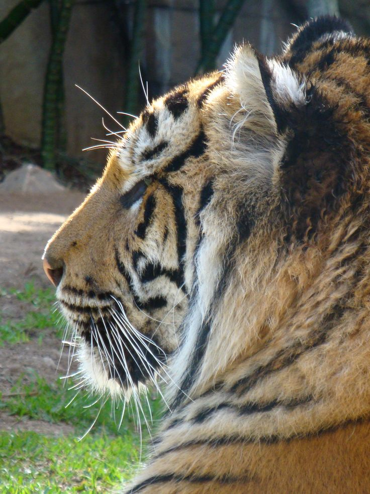 Tiger, Australia Zoo