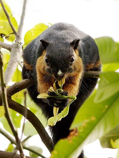 Black Giant Squirrel - Ratufa bicolor
