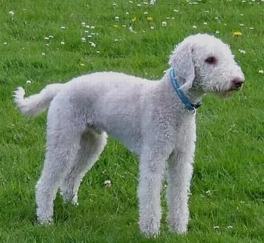 Bedlington Terrier Dogs| Bedlington Terrier Dog Breed Info & Pictures | petMD