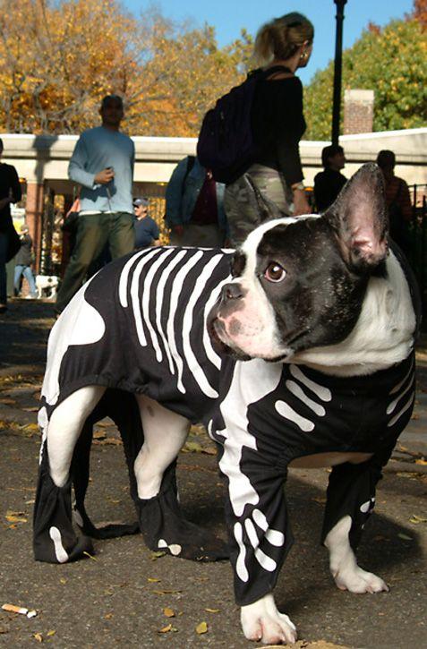 Boston Terrier in skeleton costume.