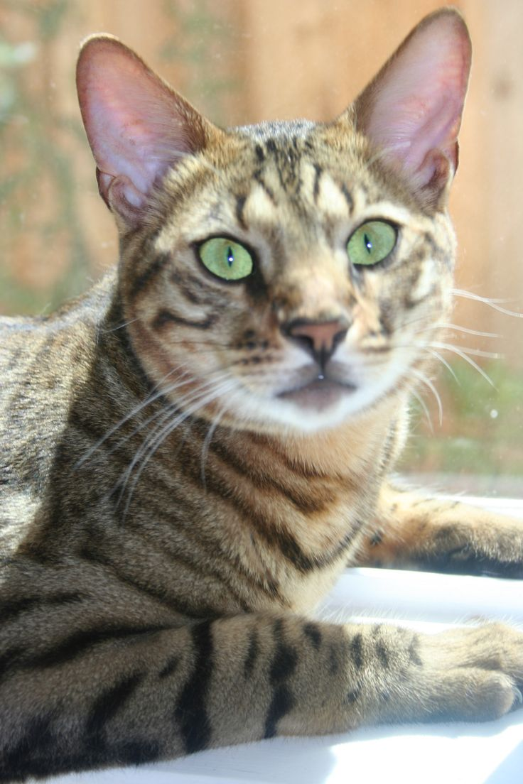 Donations to Savannah Rescue help us pay the vetting costs of cats that are surrendered to Rescue.