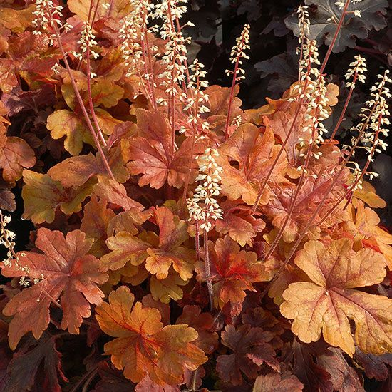 Heuchera Marmalade has caramel-color maplelike leaves that will stand out in a shady garden border. Small white flowers appear in the spring, and in the autumn the leaves turn a lovely shade of rose-red.