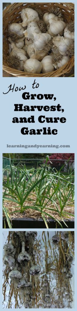 Learn to grow, harvest and cure garlic. Organic gardening and natural living at its best!