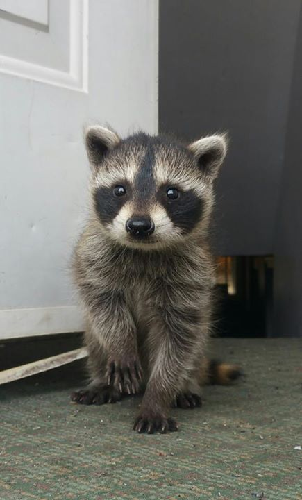 A Young Raccoon.