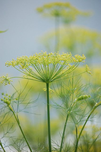 "Queen Ann's Lace.  As a child, I was told this was a ""weed"", but I believe it is more accurately a wildflower -- and I happen to love them."