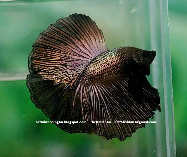 A Gorgeous Male Betta Fish Variety Fin Type Elephant Ear