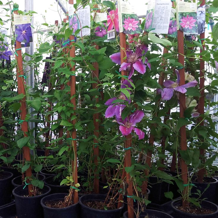 Some Clematis that we have for sale.