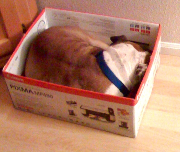 Frank the bulldog, likes to nap in boxes!