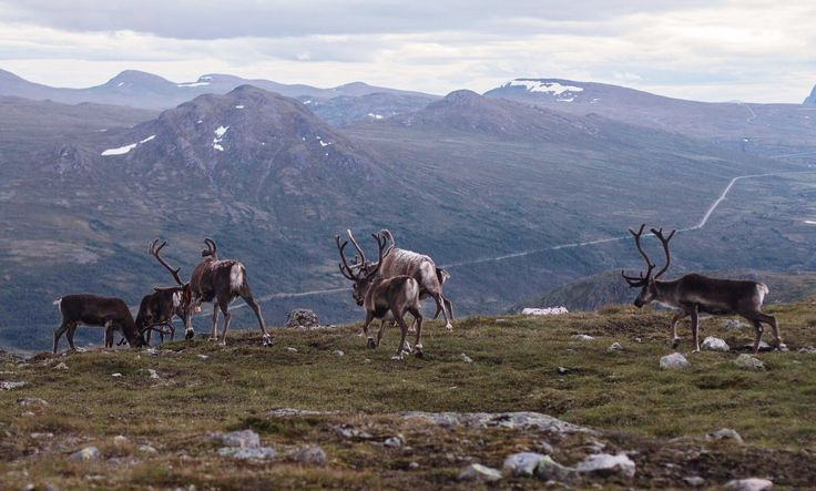 Reinedeer during our Besseggen hike. Norway | travel | photography