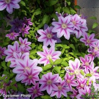 Clematis Nelly Moser, Clematis - Spring Perennials from American Meadows