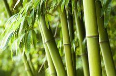 Bamboe onuitroeibaar? Bijna, maar niet helemaal! Met deze tips krijg jeje tuin bamboevrij. Uitgraven De wortels van bamboe zijn erg moeilijk stuk te krijgen. Daarom kiezenveel mensen ervoor om de plant samen met de wortel (en z'n vele uitlopers) uit te graven. Een snelle oplossing maar wel erg arbeidsintensief, je moet immers tot een meter … Continued