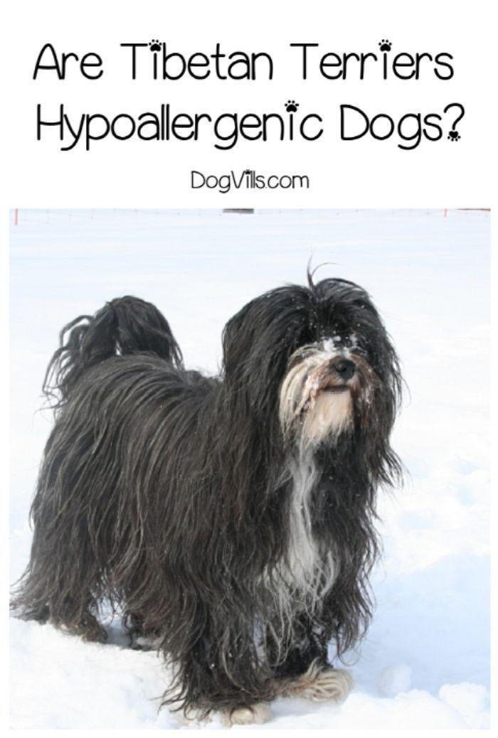 Are Tibetan Terriers Hypoallergenic Tibetan Terrier Terrier Breeds Hypoallergenic Dog Breed