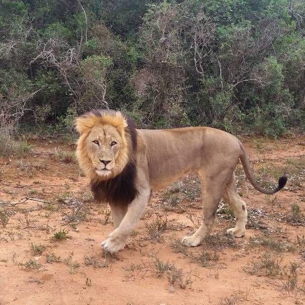 Leeuw, Addo National Park, Suid-Afrika, Zuid-Afrika, South Africa