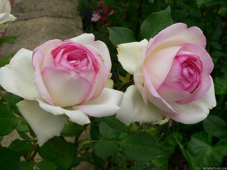 "Rose "" Biedermeier Garden ® "" , (TAN00641) , bred by Mathias Tantau, Jr. (1912 - 2006) (Germany, 2006) , ( "" Reflections "" )"