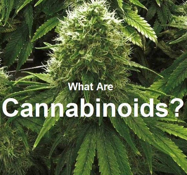 marijuana and the cannabinoids pdf