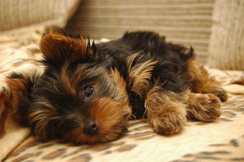 poopedDogs, Little Puppies, Yorkie, Baby Girls, Naps Time, Sweets Peas, Yorkshire Terriers, Tiny Puppies, Animal