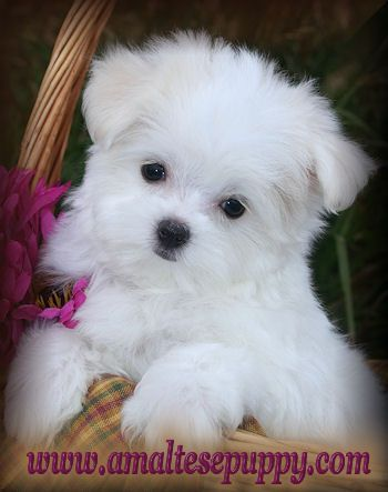 Google Image Result for http://amaltesepuppy.com/JoJo.Tori.10wks.maltese.puppies.for.sale.in.new.york.jpg