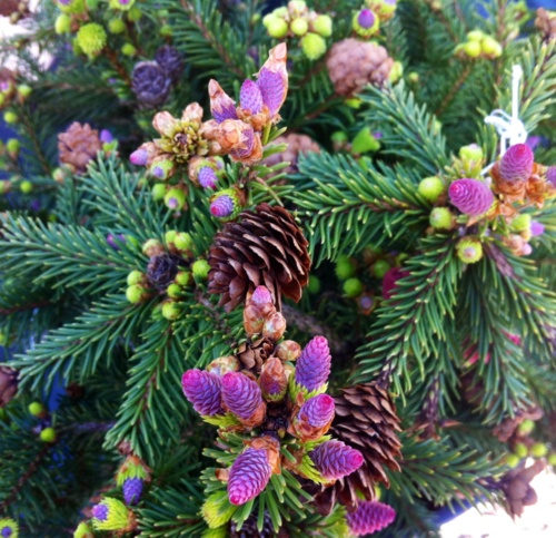 1000 ideas about dwarf flowering trees on pinterest for Dwarf ornamental trees for zone 4
