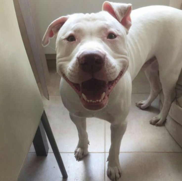 White Pitbull - 5 Reasons Why Everyone Love This Dog Breed |White Blue Nose Pitbull