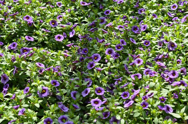 Calibrachoa hybrida 'Calita Blue Eye' minipetunie, Million Bells