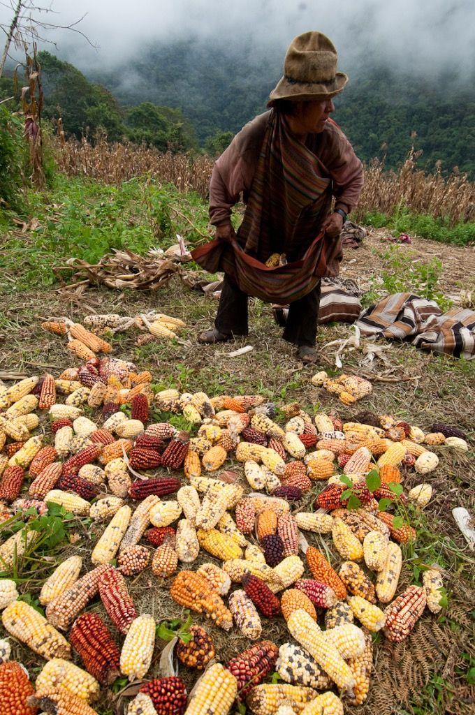 Q'ero qui trie des épis de maïs photo: TRANSHUMANCIAS VOYAGES