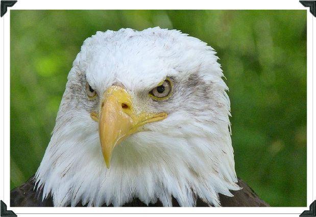 Bald Eagle Sounds - Bald Eagle Call | Female Bald Eagle Range
