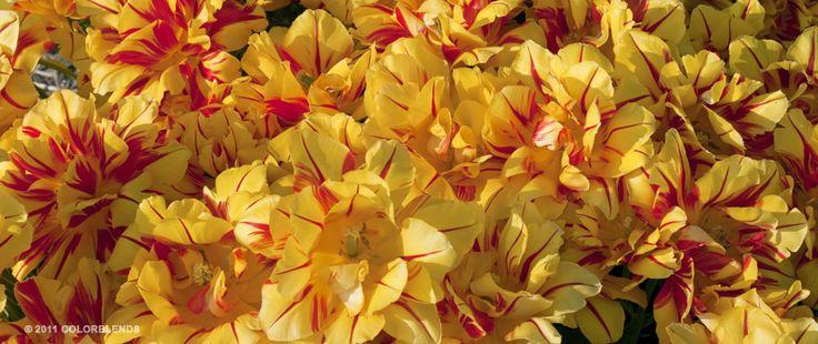 Tulip Carmen Rio | Tulip Bulbs for Sale | COLORBLENDS