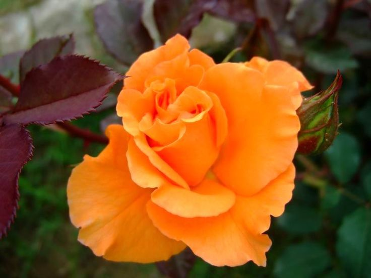 Best 25 orange roses ideas on pinterest roses coral for The meaning of orange roses