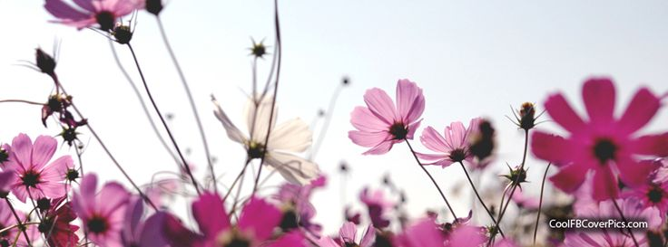 pink flower field Facebook cover photo