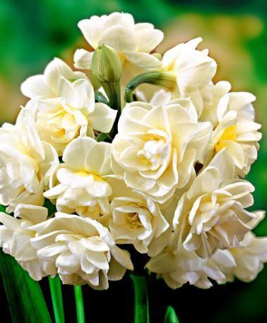 Narcisi Erlicheer - Bulbo da fiore  5 x 7,95 euro
