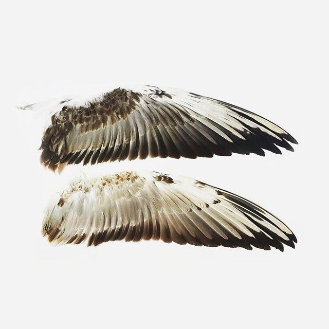 The black-headed gull's wings (juvenile  and first summer). #dead #death #deadbird #birdtaxidermy #deadstuff #deadthings #taxidermy #feather #birdfeathers #birdfeather #taxidermyart #curio #curiosity #feathers #wing #таксидермия #перо #перья #крыло