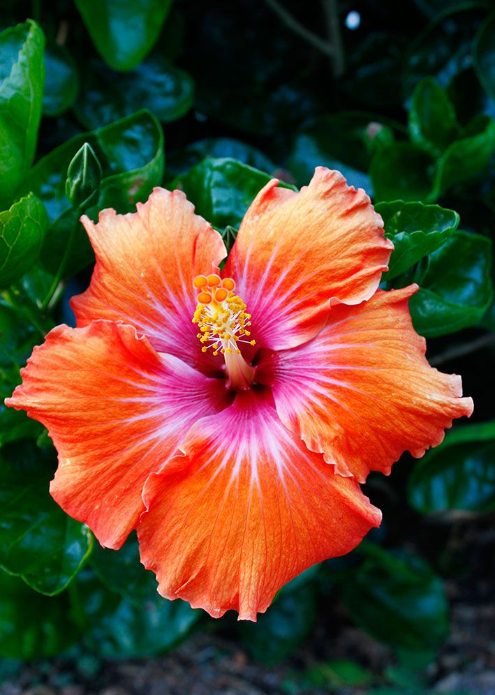 Bright Hibiscus flower