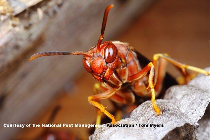 Paper Wasp Stinging Insects 101 Wasp Wasp Stings Insects